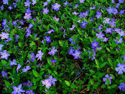 Image result for vinca minor