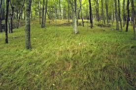 Image result for woodland sedge