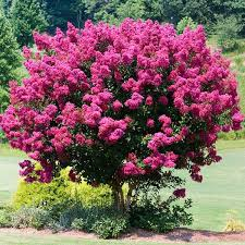 Image result for pink crape myrtle