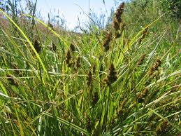 Image result for 3 seeded sedge