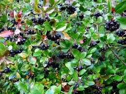 Image result for black chokeberry