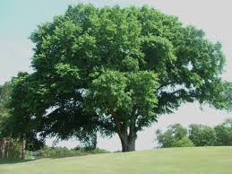 Image result for american elm tree