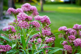 Image result for swamp milkweed