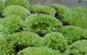Image result for cushion moss