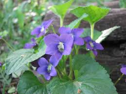 Image result for Viola papilionacea