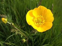 Image result for buttercup