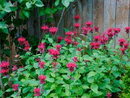 Image result for monarda