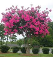 Image result for pink crepe myrtle