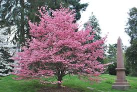 pink-flowering-dogwood-tree.jpg