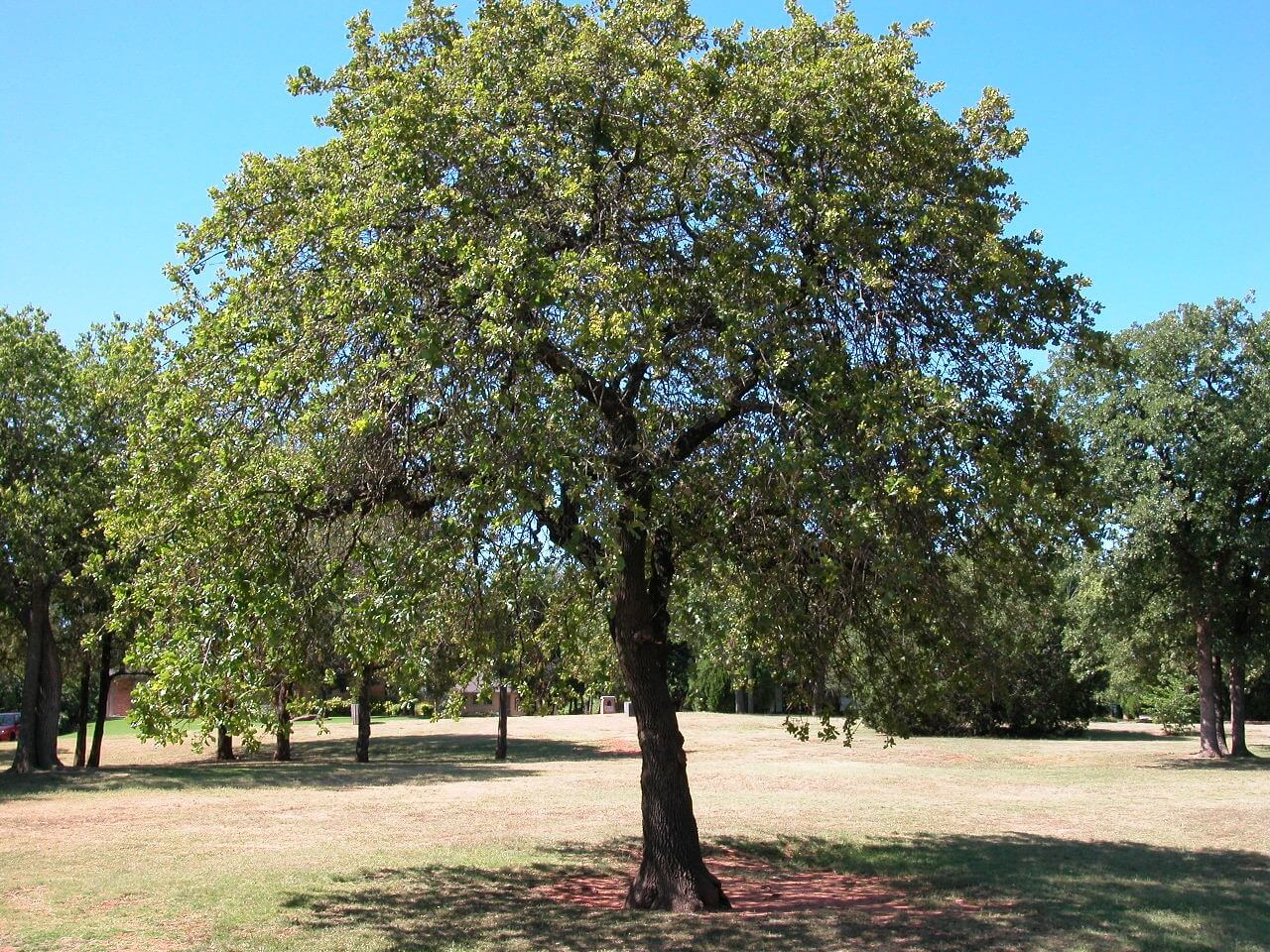 post-oak-tree2.jpg