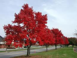 red-maple4.jpg