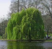weeping-willow.jpg
