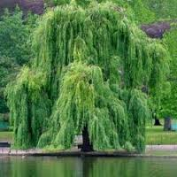 weeping-willow3.jpg