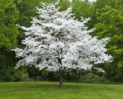 white-flowering-dogwood-tree.jpg