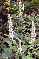 AGASTACHE NEPETOIDES | Giant Yellow Hyssop