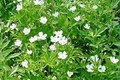 ANEMONE CANADENSIS | Canada Anemone