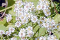 ASTER LATERIFLORUS | Calico Aster