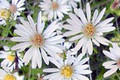 ASTER PILOSUS | Frost Aster