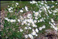 ASTER PTARMICOIDES | Upland White Aster