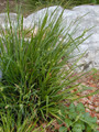 CAREX BLANDA | Dewey | Woodland Sedge