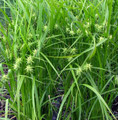 CAREX GRAYI | Gray's Sedge