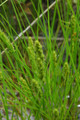 CAREX VULPINODEA | Fox Sedge