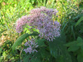 EUPATORIUM PURPUREUM | Sweet Joe Pye