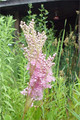 FILIPENDULA RUBRA | Queen of the Prairie
