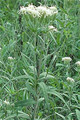 KUHNIA EUPATORIODES | False Boneset Buy premium seeds and plants from native wildflower nursery, IonXchange.com