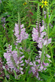 PHYSOSTEGIA VIRGINIANA | False Dragonhead