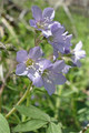 POLEMONIUM REPTANS | Jacob's Ladder