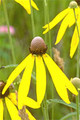 RATIBIDA PINNATA | Yellow Coneflower