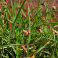 SCIRPUS PUNGENS | Common Three-Square