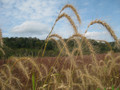 Prairie Grasses Seed Mix