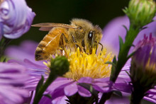 Honey Bee on Wildflower - Buy Pollinator Seed Mix