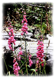 Wild Foxglove, Greeting card