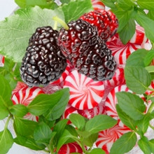 Peppermint Mulberry CG  (NEW)