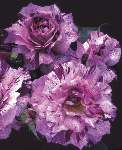 -purpletiger.jpg