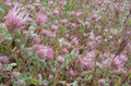 Rose Clover Seed