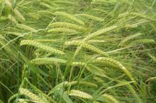 Barley - Certified Organic