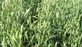 Cayuse White Oats - Certified Organic