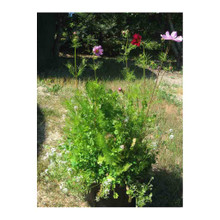 Harmony Insectary Plant Blend