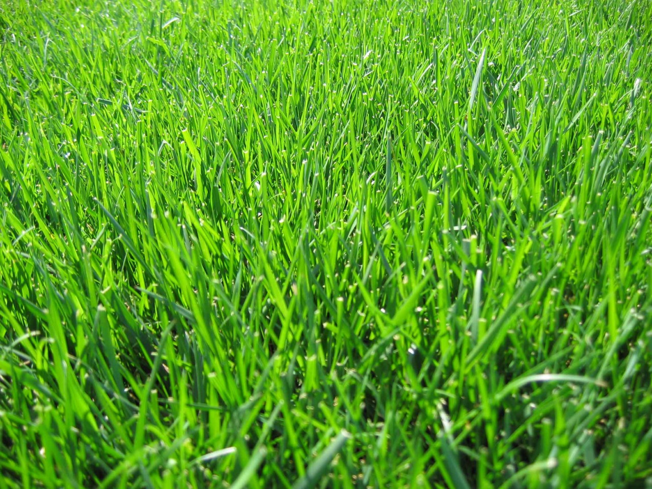 Image Result For Tall Fescue Sod
