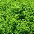 Alfalfa - Certified Organic