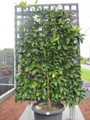 Espalier Tahitian Lime (large)