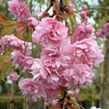 "Weeping cherry ""Cheals"""