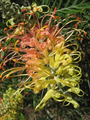"Grevillea ""Peaches and cream"""