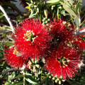 Callistemon ''Little John''