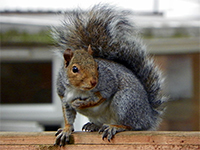 Squirrel Image by AnemoneProjectors (talk) (Flickr)