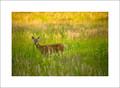 Deer #1, Cades Cove